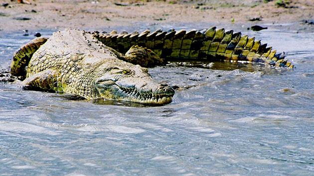 Ученые знаю семь видов нильского крокодила