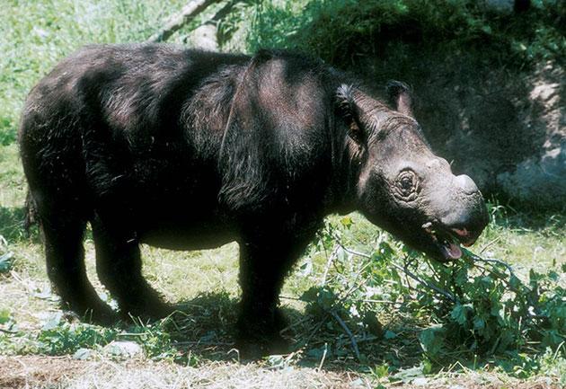На сегодняшний день хорошо изучены 5 видов носорогов