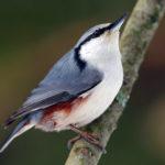 Птицы поползни