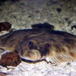 Рыба камбала