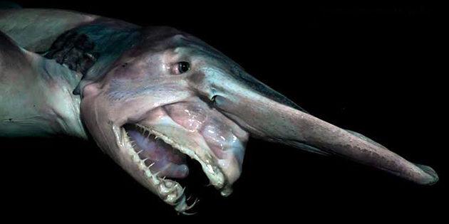 Из-за скрытого образа жизни до конца не известна численность акул-гоблинов
