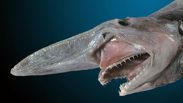 Ученные бьются в догадках об особенностях размножения многих глубоководных акул-домовых