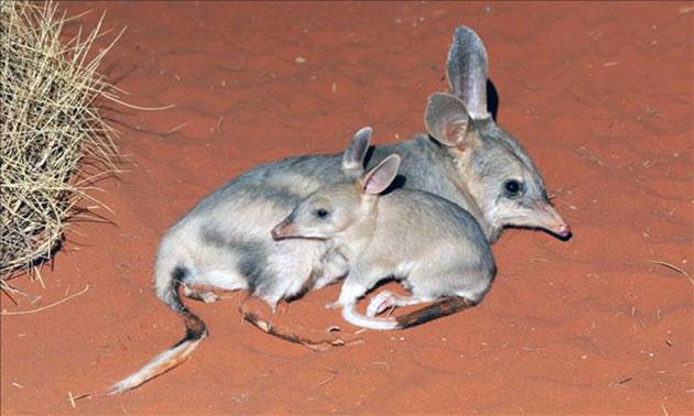 Самка бандикота может приносить потомство до восьми раз в год