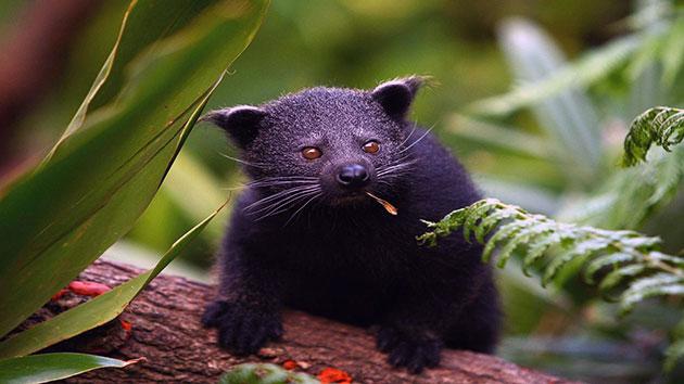 Бинтуронги живут в дикой природе около 10 лет