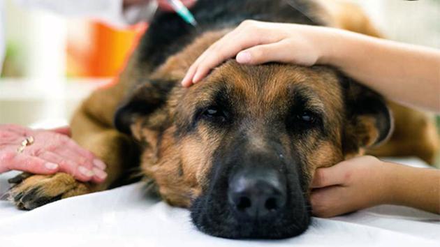Первые симптомы чумки у собак — лихорадка