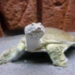 Дальневосточная черепаха или Китайский трионикс