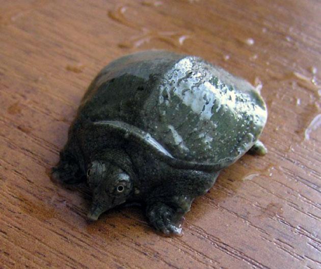 Беременность у дальневосточной черепахи длиться примерно два месяца