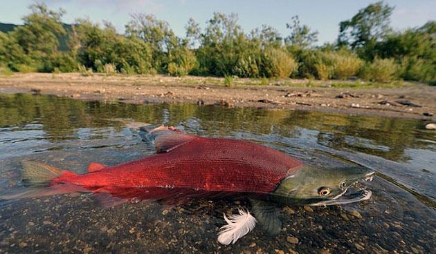 Кижуч является ценной промысловой мишенью в океане и реках