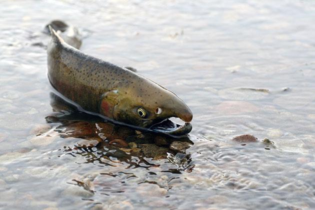 Родиной кижуча считается прибрежные водоразделы Центральной и Северной Калифорнии