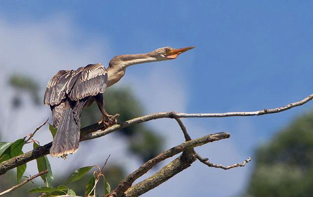 Птица змеешейка