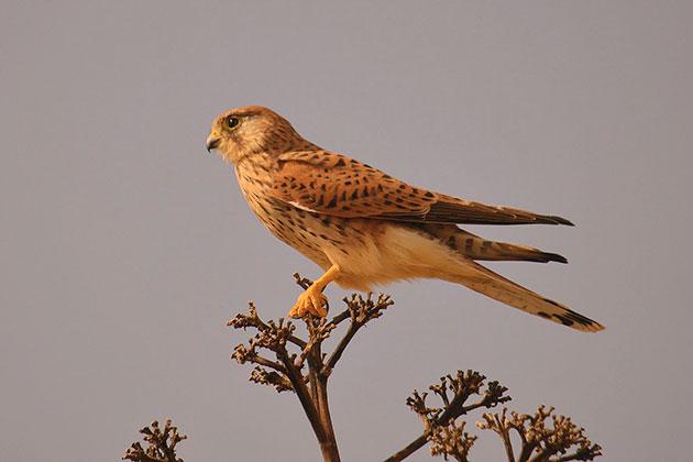 Птицы пустельги