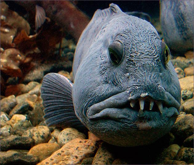 Зубатки питаются рыбой поменьше, моллюсками, ракообразными