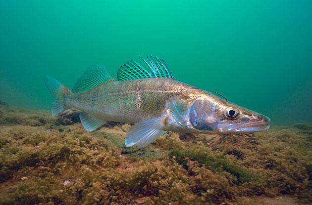 Наибольшее опасение вызывает морской судак, именно поэтому он занесен в Красную книгу Украины