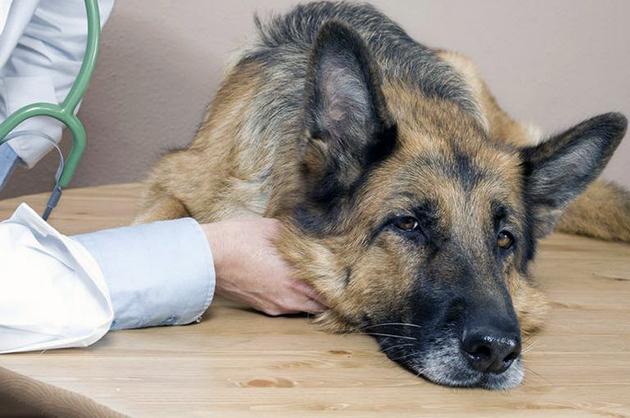 Собаки переболевшие чумкой могут страдать приступами эпилепсии