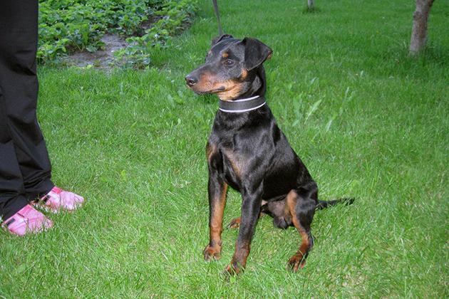 Ягдтерьеры относятся к числу очень здоровых от природы собак