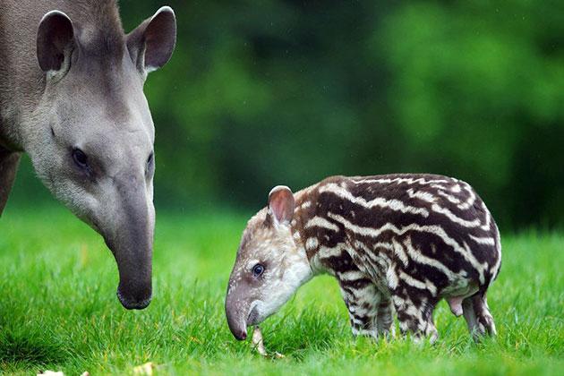 Самка тапиров может давать потомство на протяжение всего года