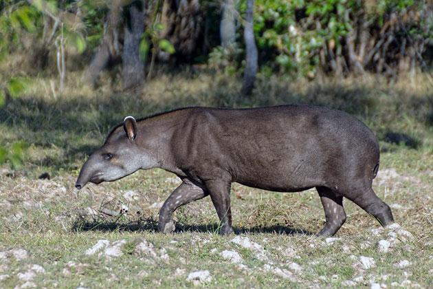 Средняя продолжительность жизни тапиров составляет около трех десятков лет