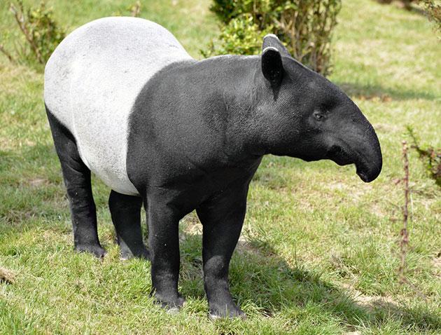 Тапиры (лат. Tapirus)