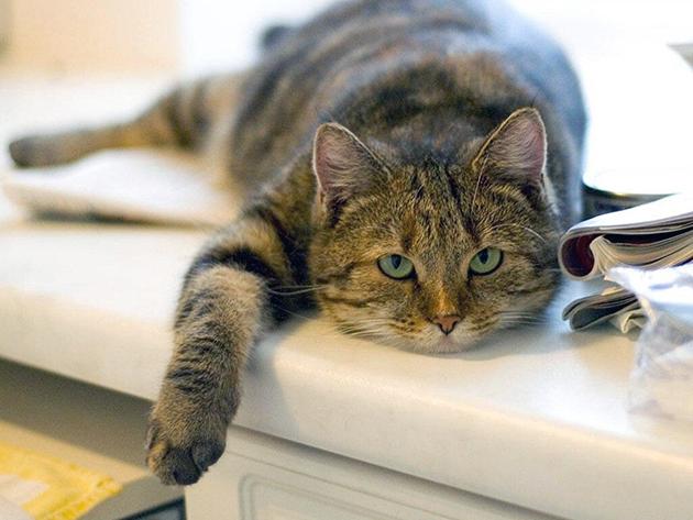 Отличная от нормы температура у кошки, может сигнализировать о серьезных проблемах в организме