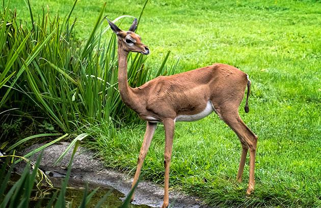 Жирафовая газель образует 2 подвида