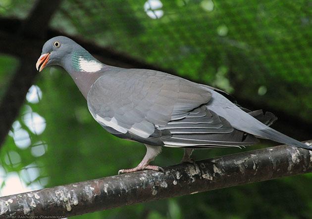 Птица вяхирь или витютень
