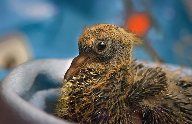 Лесной голубь за год, может давать потомство до трех раз