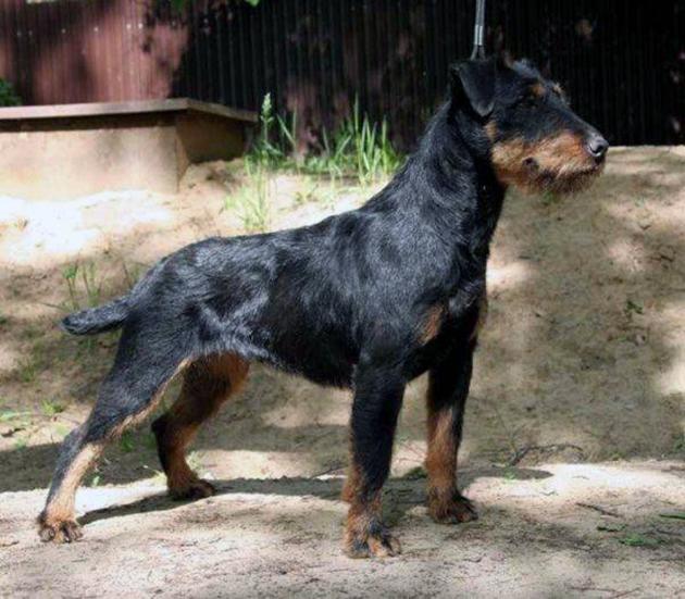 Ягда лишён нарядности, которая свойственна очень многим охотничьим собакам