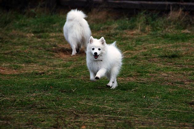 Японскому шпицу необходима дрессировка, так как это очень активная собака