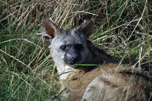 Главным врагом земляного волка считаются шакалы