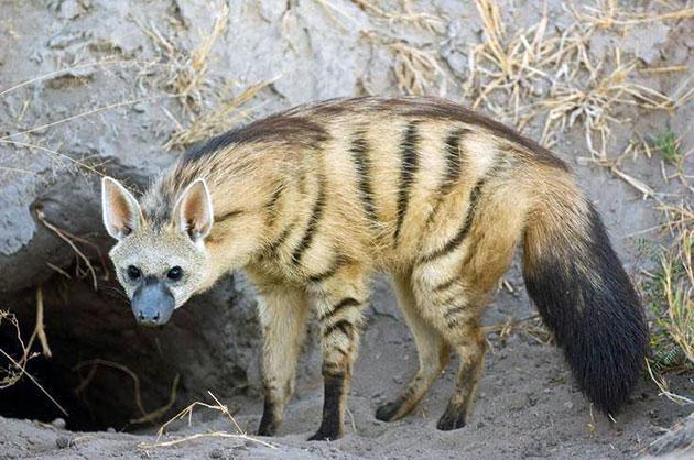 Земляные волки питаются в основном термитами, насекомыми и другими паукообразными