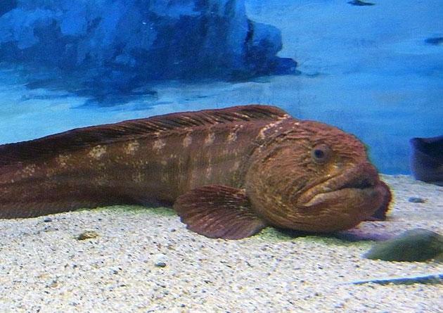 На молодняк зубаток охотятся океанические рыбы, а на крупные особи — тюлени в северных водах