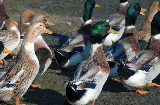Башкирские утки обладают хорошим здоровьем и редко болеют при соблюдение условий содержания
