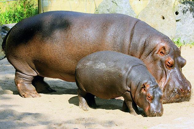 Карликовый и обыкновенный бегемоты