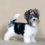 Бивер-йоркширский терьер (Вiewer terrier)