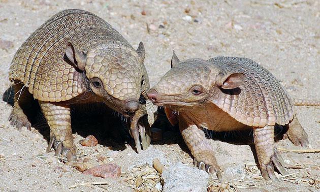 Взрослые самцы броненосца, как правило, несколько тяжелее самок