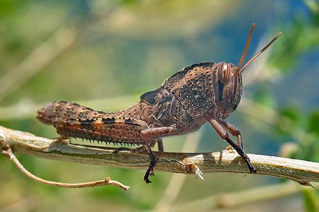 Египетская кобылка или саранча