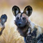 Гиеновидная или гиеновая собака