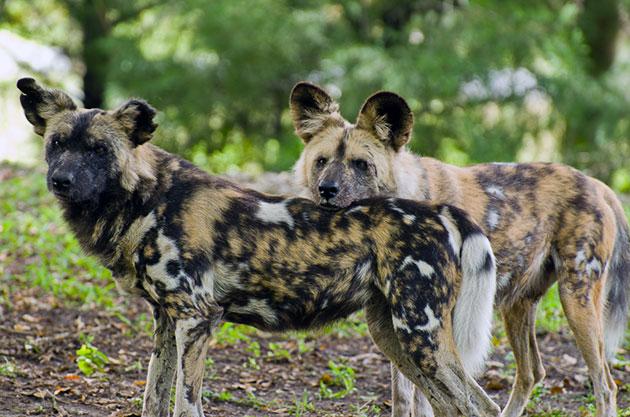 Самцы гиеновидных собак чуть больше самок