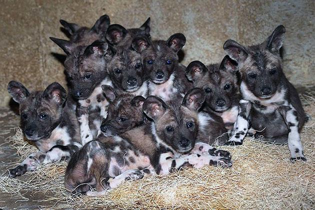 Гиеновидные собаки, в основном, обитают в Камеруне
