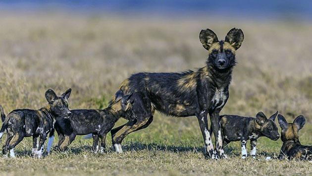 Появившиеся на свет щенки гиеновидной собаки обладают темным шёрстным покровом с наличием белых пятен неправильной формы