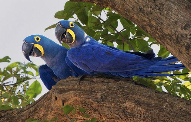 Голубые ары обитают на территориях прибрежных лесов бассейна реки в северо-восточных районах Бразилии