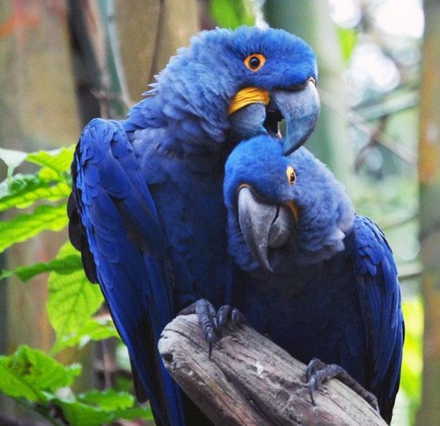 Самец голубого ары после появления потомства охраняет гнездо и ищет пропитание