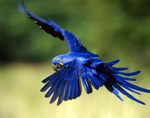 Популяция голубого ары многочисленна и охраняется законом