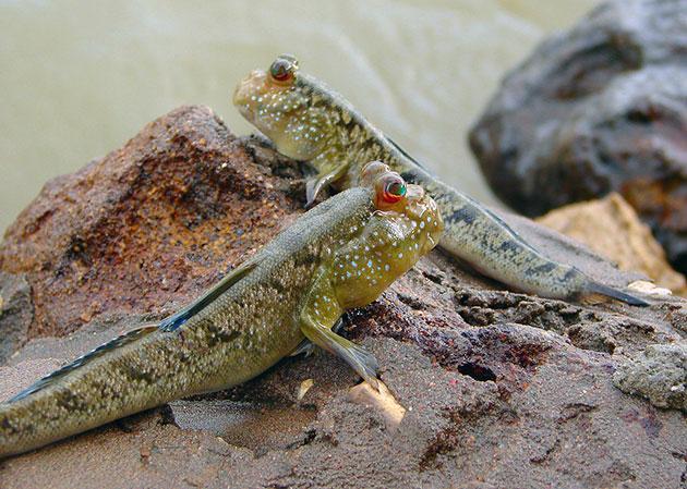 Periophthalmus barbarus — единственный вид илистых прыгунов, который охраняется законом