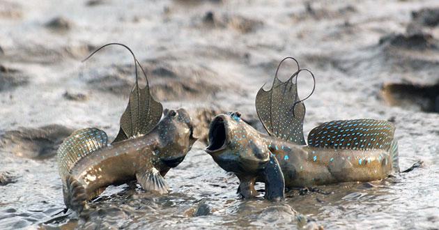 Самцы илистых прыгунов, злобные от рождения, становятся совершенно невыносимыми в сезон размножения