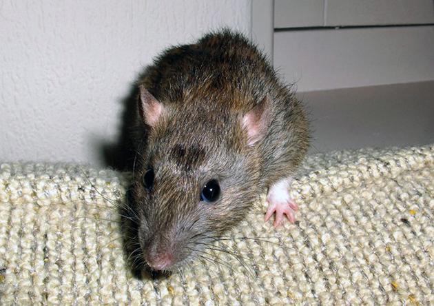 Крысы — невероятно подвижными и очень выносливыми животными