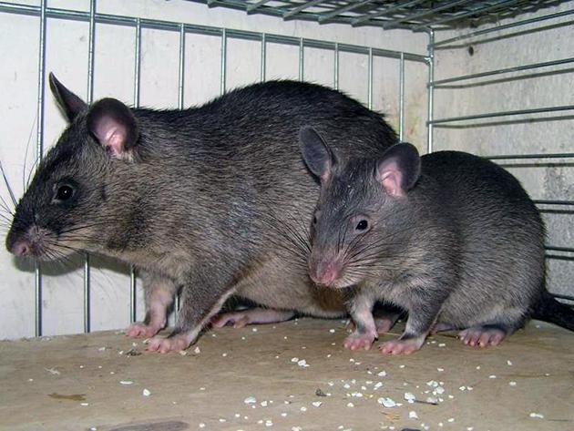 Крысы размножаются круглогодично