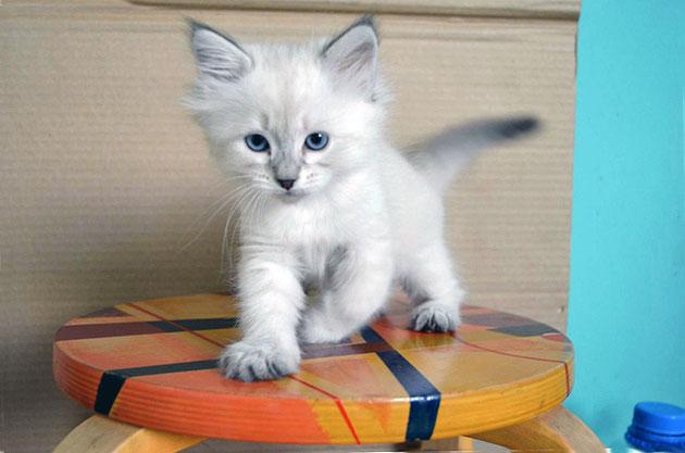 Стоимость на породистого котенка невской маскарадной варьируется в пределах 12-25 тысяч рублей