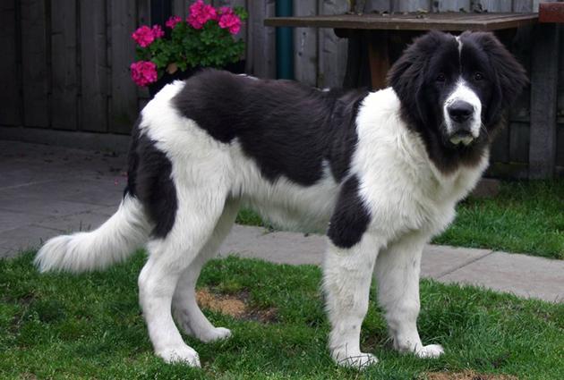 Ландсир — крупная и сильная собака, относящаяся к молоссам