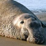 Морские слоны (лат. Mirounga)